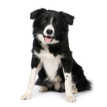Breeds Prone to Food Allergies