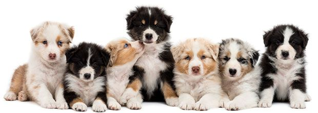 Triggers of Dog Food Allergies