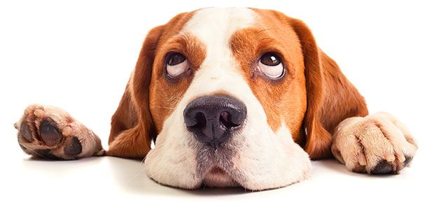 Causes of upset stomach in dogs