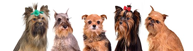 Miniature Dog Breeds
