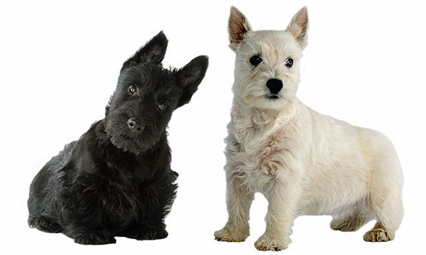 10 Popular Terrier Dog Breeds