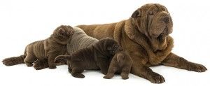 A Guide for Pregnancy in Dogs
