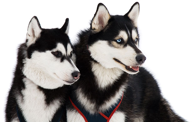 Dog breeds that often get mistaken as a wolf is Siberian Huskies
