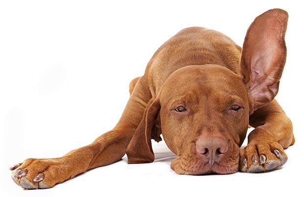 Symptoms of Ear Mites in Dogs
