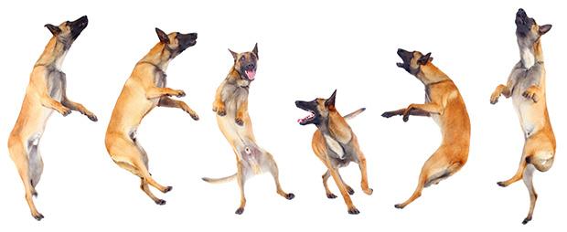 Belgian Shepherd Police Dog Training