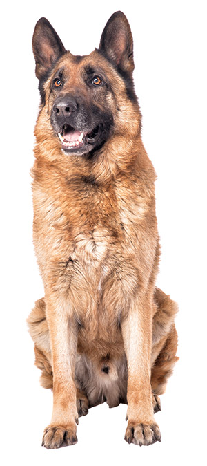 German Shepherds are used as police dogs