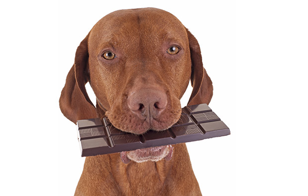 My Dog Ate Chocolate – What Should I Do