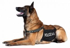 Police Dog with Police K-9 Vest