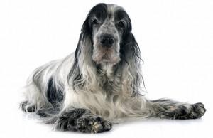 Reasons to Adopt a Senior Dog
