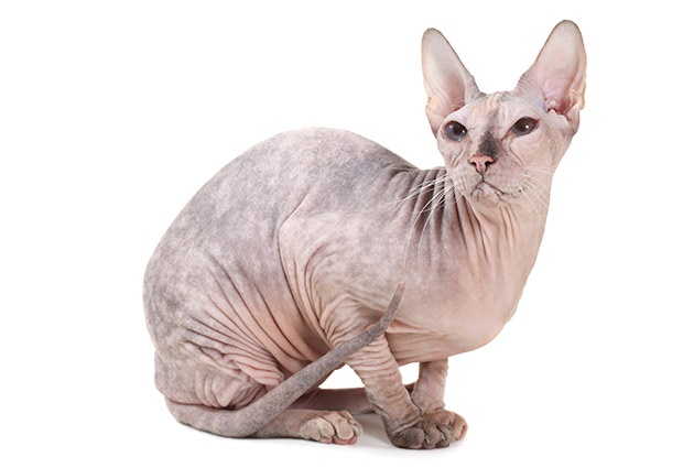 Everything You Wanted to Know About Sphynx Cats