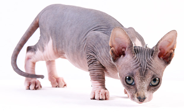 Fun Facts About Sphynx Cats