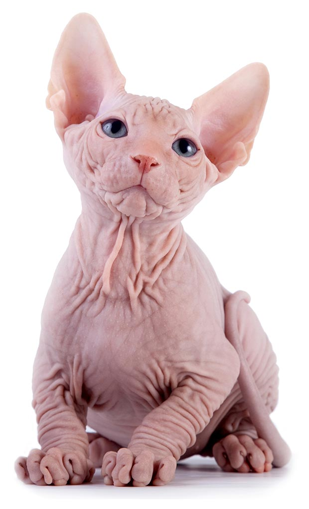 The Canadian Sphynx Cat