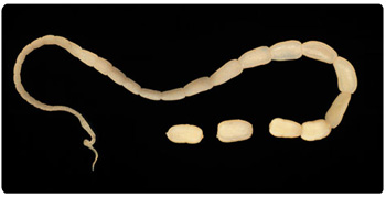 Cestodiasis - Cat Tapeworm