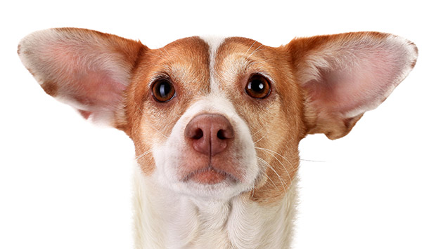Cleaning Dogs' Ears