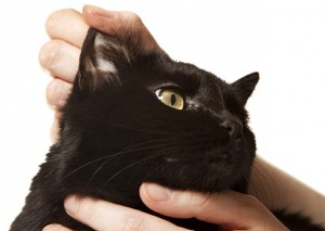 Ear Mites in Cats - Symptoms Treatment and Prevention
