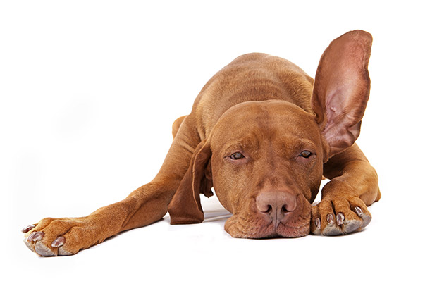 Tips for Cleaning Your Dog's Ears