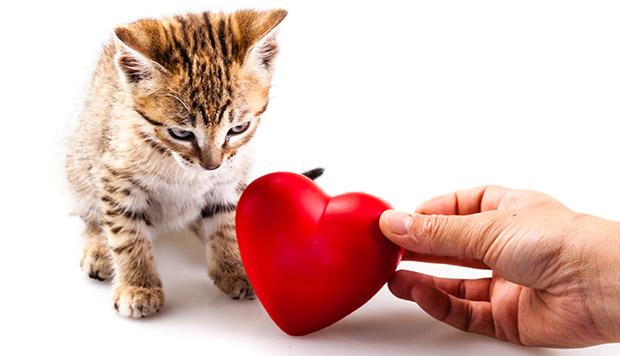 Heart Murmur in Cats