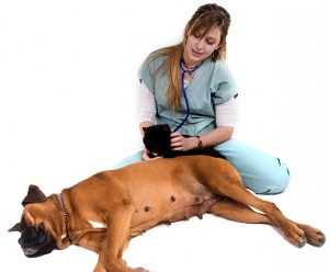 Symptoms and Treatment of Mastitis in Dogs